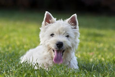Cute westie puppy Stock Photography