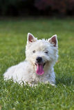 Cute westie puppy Royalty Free Stock Image
