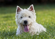 Cute westie puppy Royalty Free Stock Photos