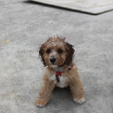 Cute wet Cavoodle puppy looking Royalty Free Stock Photo