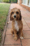 Cute wet Cavoodle puppy sitting garden looking Stock Photo