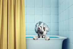 Cute wet dog in the bath. Cute wet dalmatian dog in the bath Royalty Free Stock Photos
