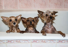 Cute wet dogs in the bath Stock Photo