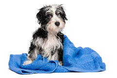Cute wet havanese puppy after bath is sitting on a blue towel Stock Images