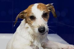 CUTE AND WET JACK RUSSELL DOG TAKING ABATH WITH HIS PAWS HANGING stock photo