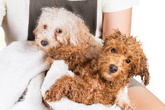 Cute wet poodle puppies wrapped in towel after shower Stock Photography