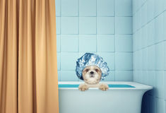 Cute wet shitzu dog in the bath Royalty Free Stock Image