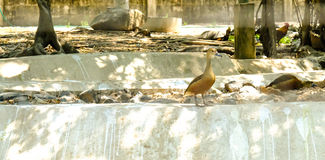 Cute Whistling Duck Dendrocygna javanica. Standing on the cement ground Stock Image