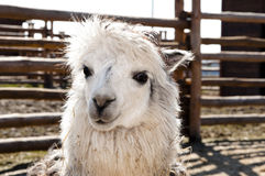 Cute white alpaca Stock Images