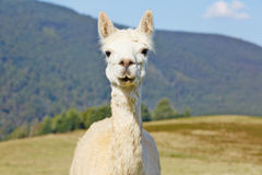 Cute, white alpaca portrait. Stock Photos