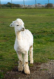A cute white Alpaca in profile. A white Alpaca in profile. An alpaca resembles a small llama in appearance and their wool is used for making knitted and woven Royalty Free Stock Photo