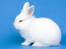 Cute white baby rabbit Stock Photography
