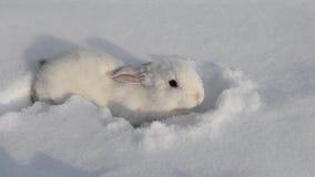White fluffy rabbit on white snow in winter. Little white bunny. Cute white baby rabbit walking on snow. Homemade white rabbit. Home rabbit walks through the stock video