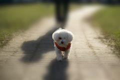 Bichon dog in red jacket during winter. Slovakia stock image