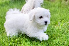 Cute white Bichon puppies playing in grass. Adorable white and fluffy Bichon Frise pure breed small puppy playing and running in the grass. Copy space, symbol of Stock Images