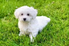 Cute white Bichon puppy sitting in grass. Adorable white and fluffy Bichon Frise pure breed small puppy sitting in the grass, in summer time, looking at camera Stock Photography