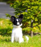 Cute white and black dog posing on the green grass near the young spruce. A small puppy sits with raised ears on the street. The c royalty free stock photography