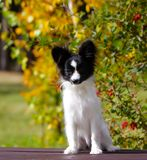 Cute white and black dog posing on a wooden bench on the background of yellow autumn trees. A small puppy sits on the street. royalty free stock images