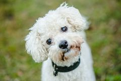 Cute white bolognese dog. Close up portrait of cute white furry bolognese dog with brown eyes and black nose looking up, standing in a park, blurry green stock image