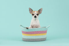 Cute white and brown chihuahua sitting in a colored basket on a turquoise background Stock Photography