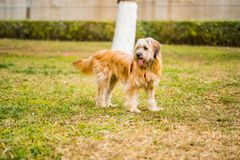 Cute white and brown domestic dog walking in the park Stock Photos