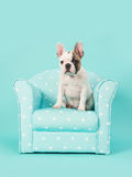 Cute white and brown french bulldog puppy sitting in a blue chair on a mint blue background Stock Image