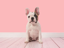 Cute white and brown french bulldog puppy sitting in a pink living room facing the camera Stock Photography