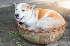 Dog lying in the tub. Cute White and Brown pattern dog lying in the tub royalty free stock photo