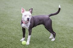Blue-eyed female puppy American Pit Bull Terrier Playing with a tennis ball. Cute white and brown Pit Bull puppy standing next to a tennis ball in an off-leash royalty free stock image