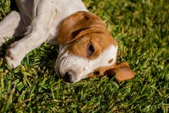Cute white and brown puppy laying on grass.  Royalty Free Stock Photography