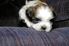 Cute white and brown Shih Tzu Puppy on blue couch stock images
