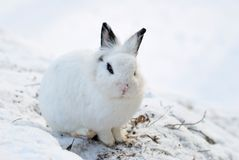 Cute White Bunny. On Snow Background royalty free stock images