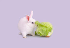 White bunny eats lettuce Stock Images