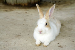 Cute white bunny on the ground Royalty Free Stock Photography