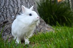 Bunny playing in the grass outside. Cute white bunny playing in the grass around a tree trunk stock photography