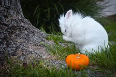 Bunny playing in the grass with a pumpkin. Cute white bunny playing in the grass around a tree trunk, with a pumpkin on the tree roots royalty free stock photo