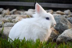 Bunny playing in the grass. Cute white bunny playing in the grass, with rocks piled in the background stock images