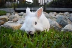 Bunny playing in the grass. Cute white bunny playing in the grass, with rocks piled in the background stock photography