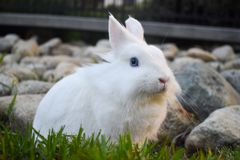 Bunny playing in the grass. Cute white bunny playing in the grass, with rocks piled in the background stock image