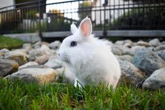 Bunny playing in the grass. Cute white bunny playing in the grass, with rocks piled in the background stock photo