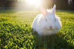 Bunny playing in the grass. Cute white bunny playing in the grass, on a sunny day royalty free stock images