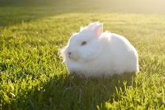 Bunny playing in the grass. Cute white bunny playing in the grass, on a sunny day royalty free stock photography