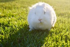 Bunny playing in the grass. Cute white bunny playing in the grass, on a sunny day royalty free stock image