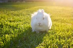 Bunny playing in the grass. Cute white bunny playing in the grass, on a sunny day royalty free stock photo