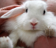 Cute white bunny rabbit Royalty Free Stock Photo