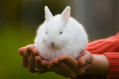 Cute white bunny. Is sitting on female hands Stock Photography