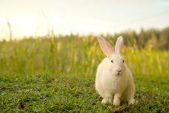 Cute white bunny and sunset. Stock Images