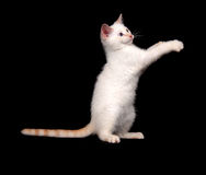 Cute white cat on black background Royalty Free Stock Photography