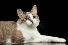 Cute White Cat, Blue eyes, Curious Looks,  Black Background Royalty Free Stock Photo