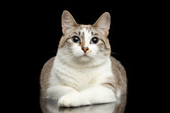 Cute White Cat, Blue eyes, Curious Looks, Isolated Black Background Royalty Free Stock Image